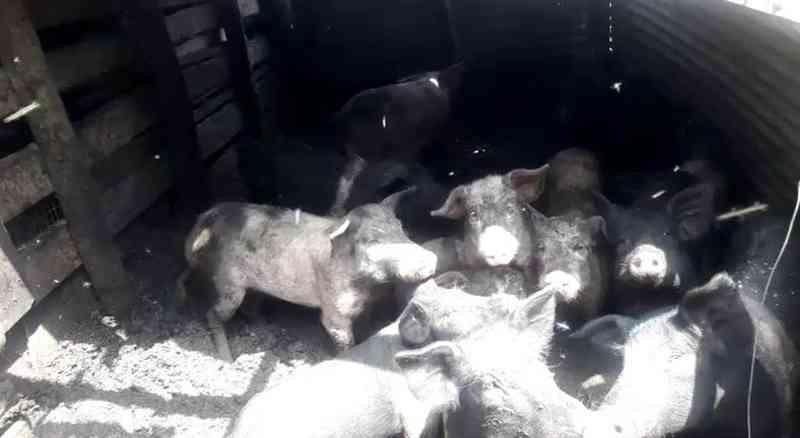 80 porcos e 8 cães maltratados são resgatados e tutor leva multa de R$ 264 mil em Itirapina, SP