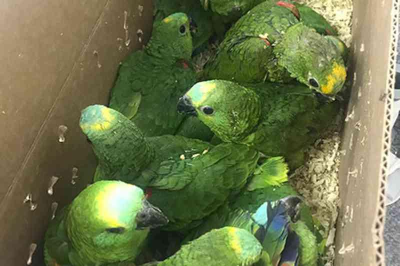 Aves sequestradas e vítimas de maus-tratos são tratadas em Barueri, SP