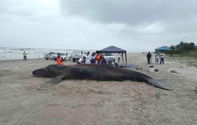Baleia-jubarte de quase 9 metros e 30 t é encontrada no litoral de SP