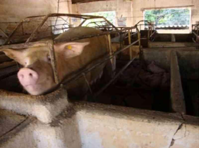 GAEMA processa fazenda de porcos de SP por crueldade a animais