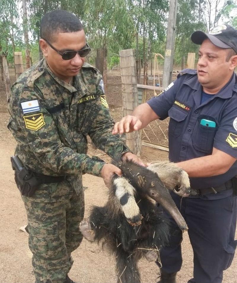 Tamanduá-bandeira é resgatado na zona rural de Palmas (TO) após ficar preso em buraco