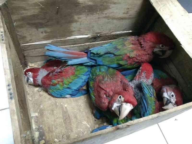 Homens flagrados transportando filhotes de arara e papagaio são multados em mais de R$ 80 mil em Santa Maria, TO