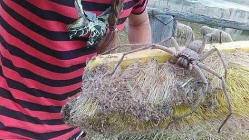 Mulher resgata aranha gigantesca para protegê-la dos humanos