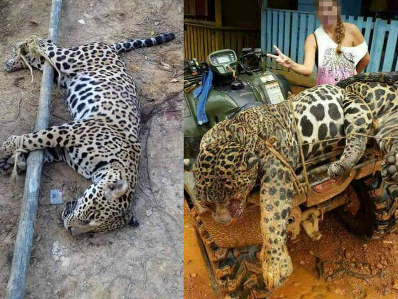 Onças-pintadas brasileiras são mortas cruelmente e vendidas para uso medicinal no Suriname e na China