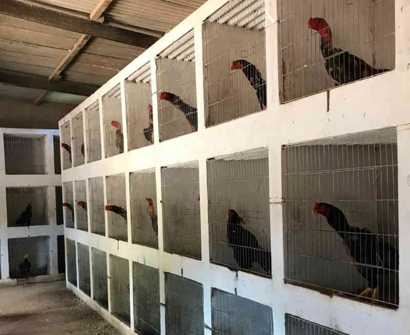 Polícia resgata 57 galos criados em gaiolas para serem usados em brigas no DF