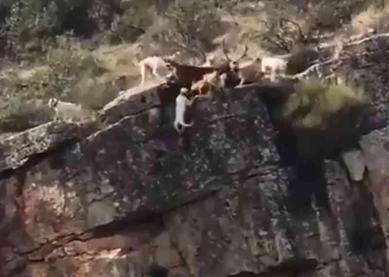 VÍDEO registra a queda de um veado e 12 cães em uma falésia durante caçada na Espanha