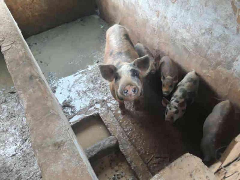 PM Ambiental encontra criação ilegal de porcos em Guaçuí, ES