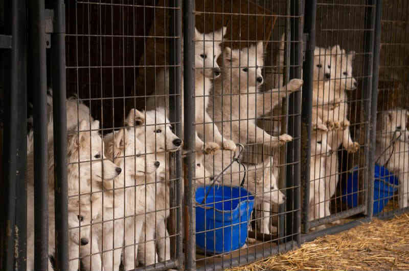 170 cães encontrados vivendo na sujeira em fábrica de filhotes na divisa de Minnesota com o Iowa, EUA
