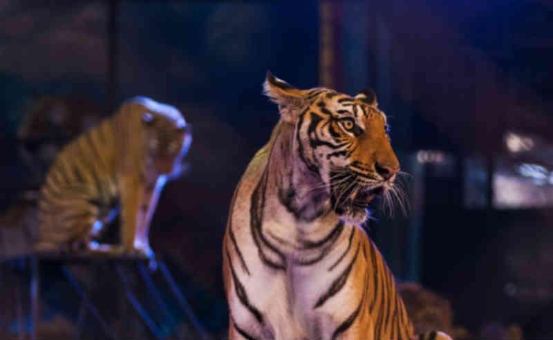 Cidade natal de famoso circense dos EUA proíbe animais selvagens em circos