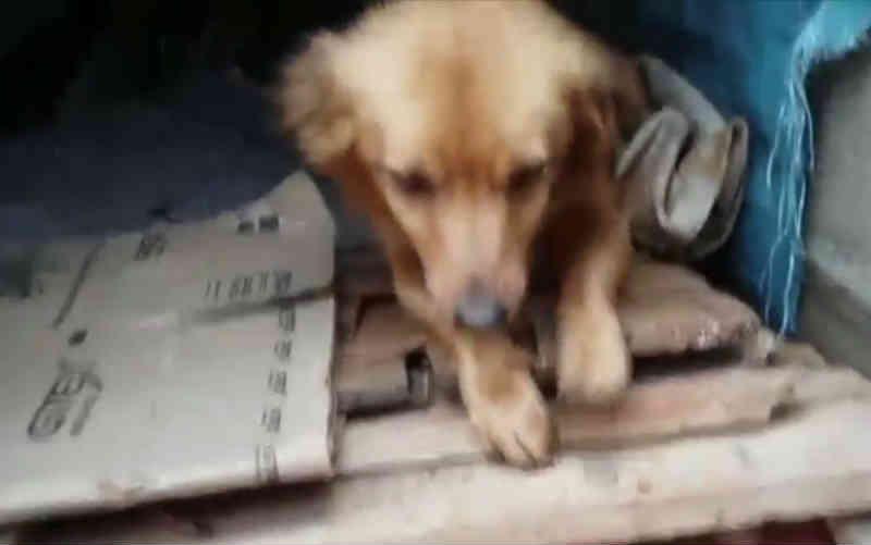 Moradora monta casinha para cadela abandonada com filhotes e que corre risco de ser agredida, em Anápolis, GO