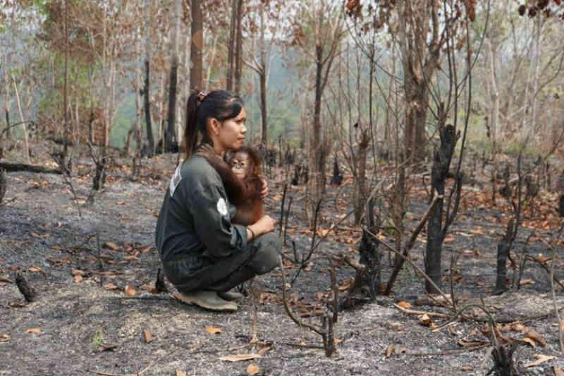 Imagem de bebê de orangotango abraçado a uma resgatista em floresta queimada mostra o impacto do óleo de palma
