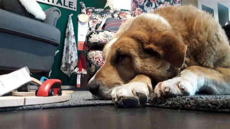 Loja de roupas abre as portas para receber cães abandonados neste inverno na Itália