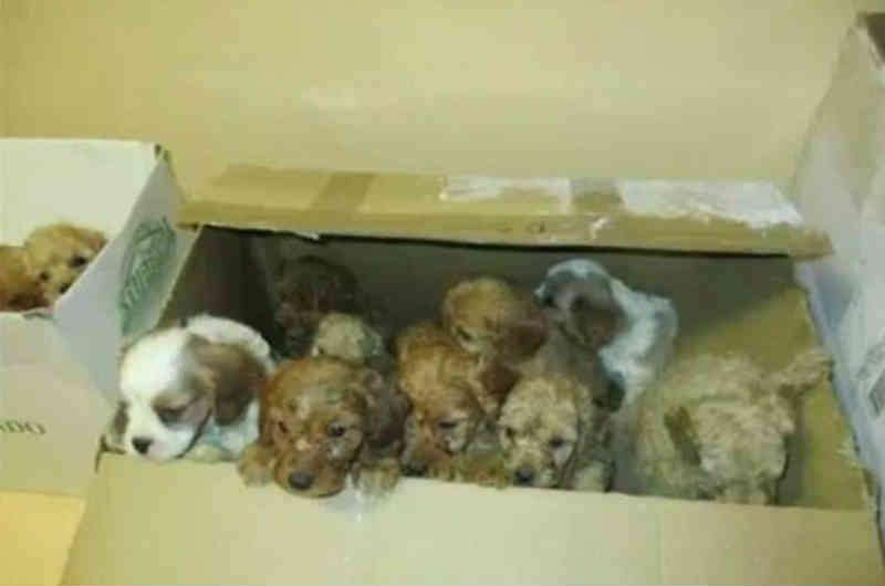 Rede de tráfico de filhotes de cachorro é descoberta na Itália