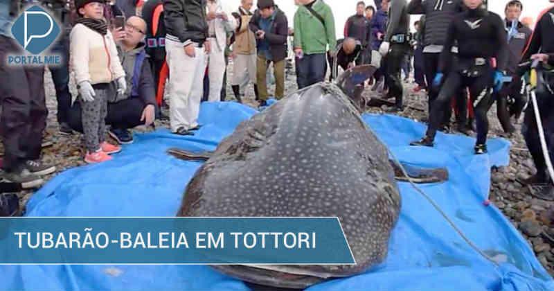 Tubarão-baleia morre antes de ser lançado de volta ao mar, em Tottori, no Japão