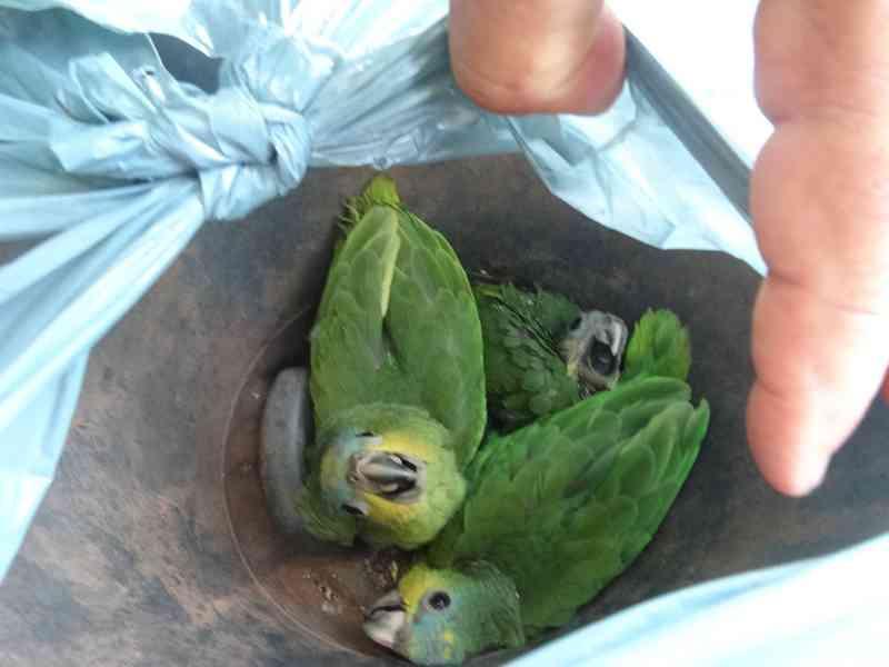 Filhotes de papagaios apreendidos durante as operação. (Foto: Divulgação)