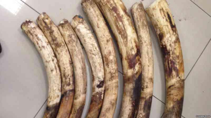 Funcionário de órgão responsável por animais é detido por tráfico de peças de marfim em Moçambique