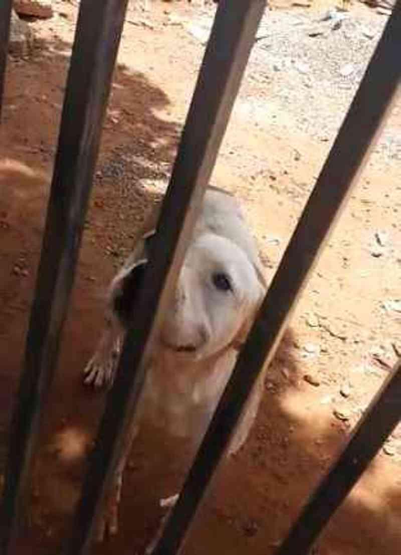 Pitbull está abandonado em terreno faz 2 meses | Foto: Reprodução/WhatsApp Midiamax