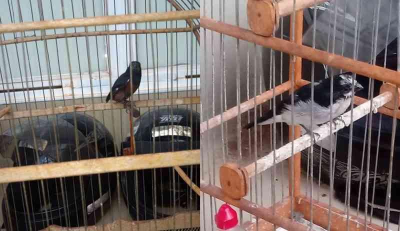 O homem mantinha as aves ilegalmente em gaiolas em sua residência, em Dourados (MS). — Foto: Polícia Militar Ambiental/Divulgação