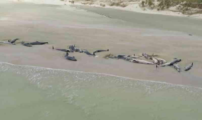 Primeira pessoa a avistar enorme grupo de baleias mortas descreve o horror do momento e a tentativa desesperada (e vã) de as salvar