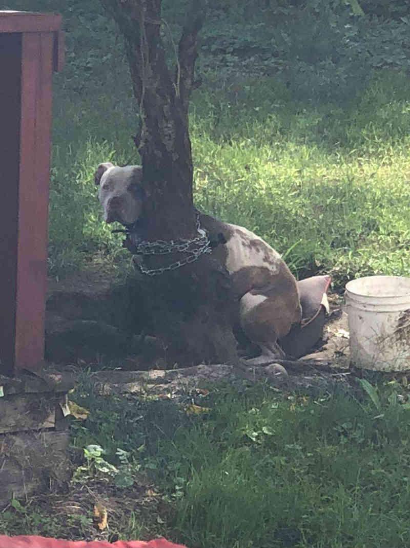 Este pobre pit bull foi preso a uma árvore e deixado para morrer. então, sua vida mudou drasticamente