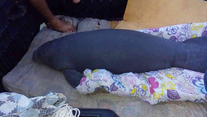 Filhote de peixe-boi encalha duas vezes no litoral do Piauí e é resgatado