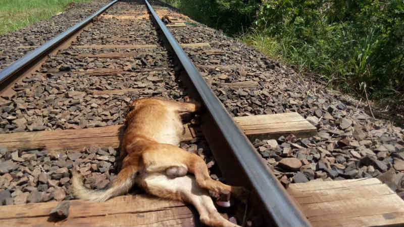 Cachorro tem cabeça decepada no trilho de trem em Bandeirantes, PR