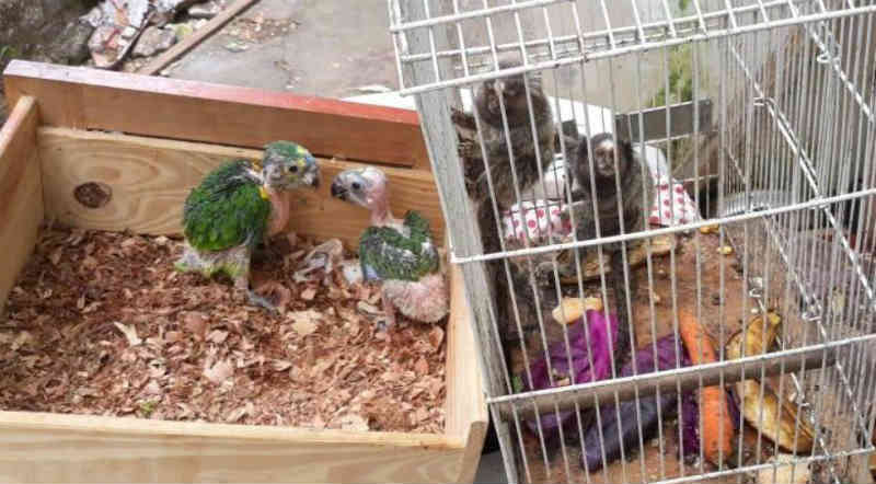 Mais de 100 pássaros e animais silvestres são resgatados de cativeiros em Londrina, PR