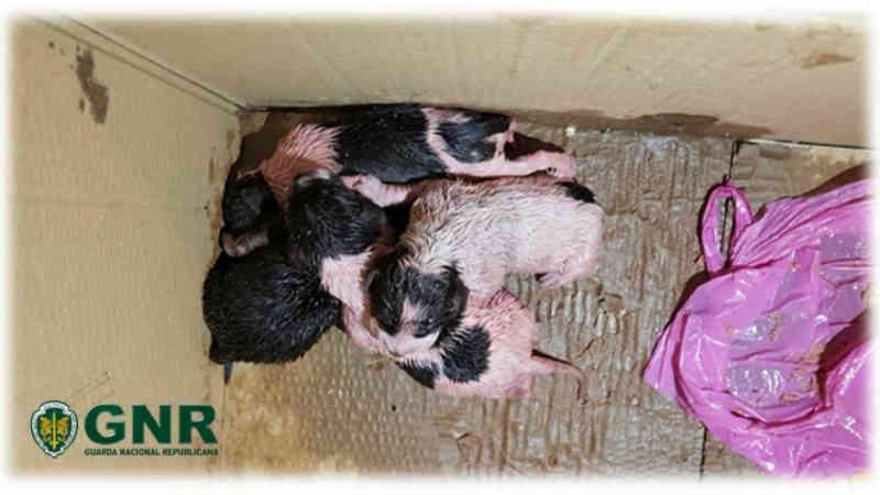 GNR salva quatro cachorros abandonados em depósito de lixo