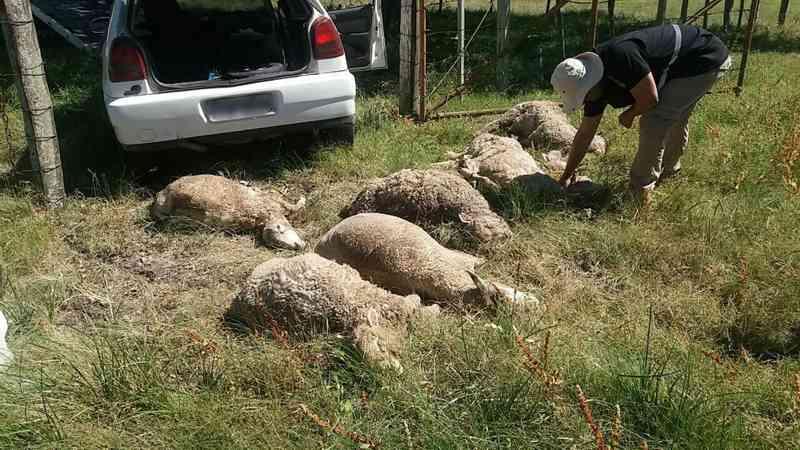 Homens são presos em flagrante transportando 16 ovelhas dentro de carro no RS; 7 animais morreram sufocados