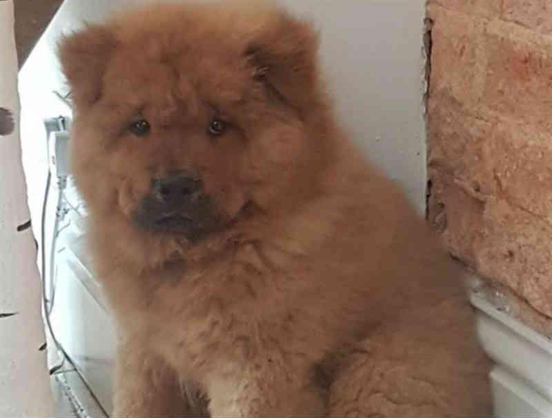Cão condenado a nove meses de 'prisão' por morder polícia na Inglaterra