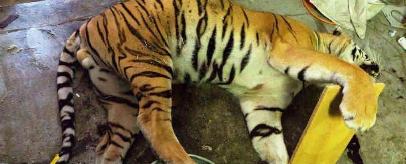 Polícia encontra local na República Tcheca onde tigres eram mortos