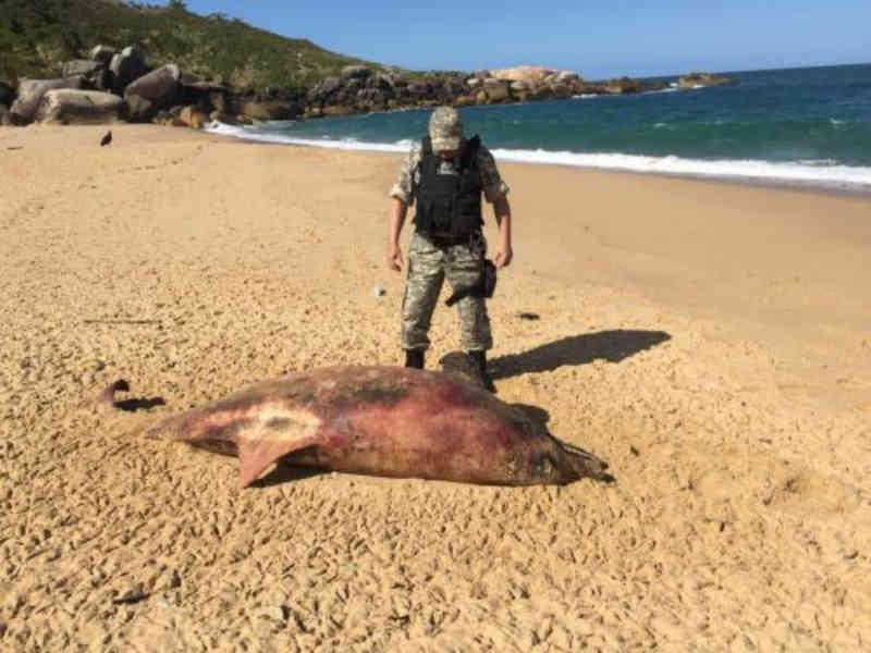 Boto aparece morto na praia de Taquarinhas em Balneário Camboriú, SC