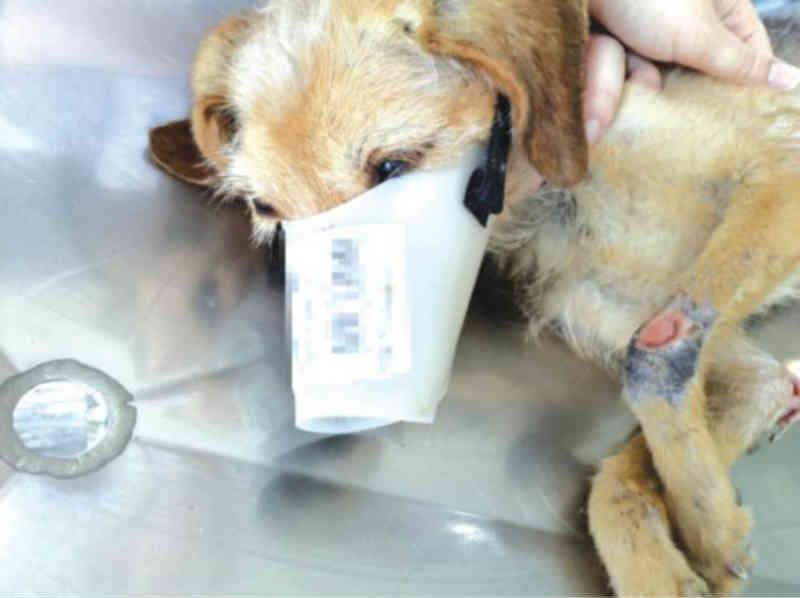 Cadela que era abusada sexualmente é salva em Camboriú, SC