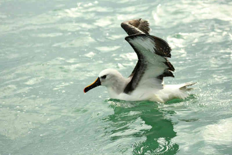 Após passar por reabilitação, albatroz é solto em alto-mar em Florianópolis
