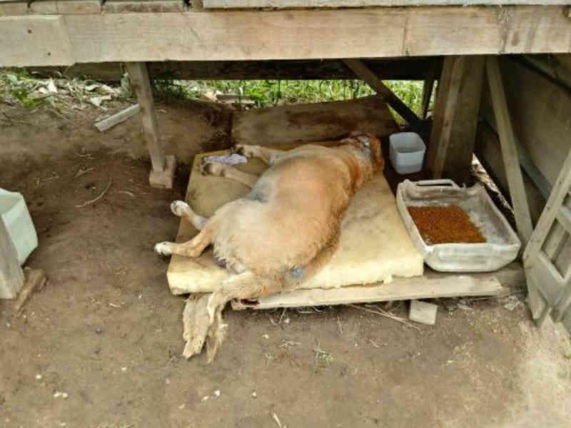 Cachorro que sofria maus-tratos morre após ser resgatado em Ilhota, SC