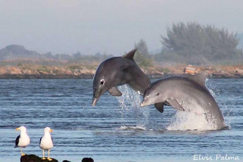 Vereadores de Tubarão, em Santa Catarina, aprovam lei de proteção a botos pescadores
