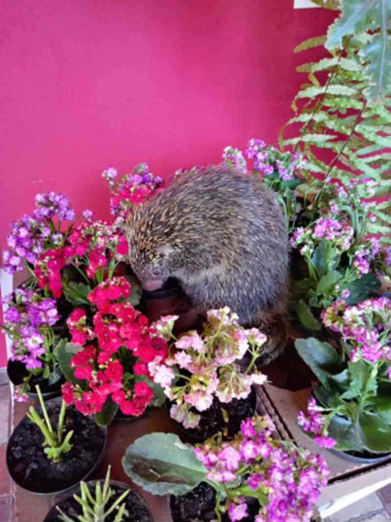Ouriço se abriga em casa no Jardim Morumbi e Corpo de Bombeiros de Assis (SP) consegue resgatá-lo