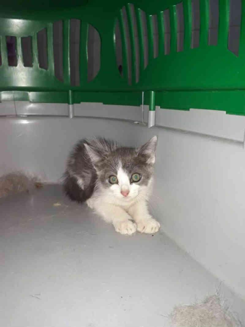 Filhote de gato resgatado em bueiro em Bálsamo (SP) é adotado