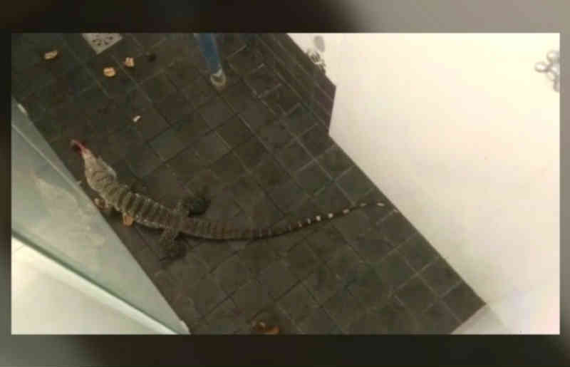 Fotógrafo 'adota' lagarto desalojado com chuvas em Campinas, SP