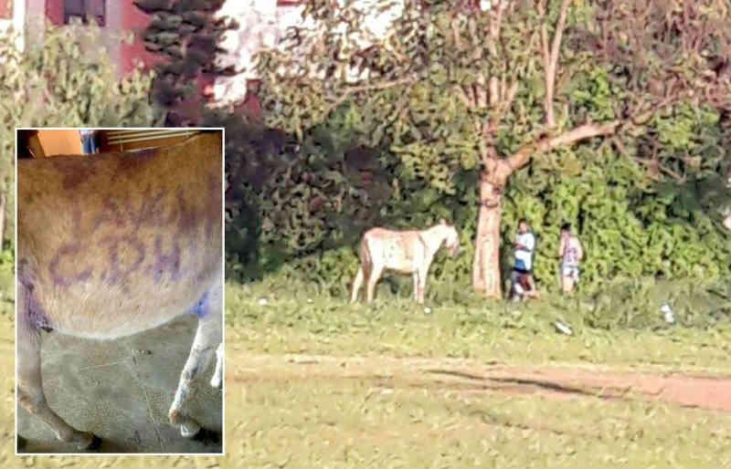 Burro vítima de maus-tratos é pichado e escapa do 'abate' após ser comprado por R$ 200 em Marília, SP