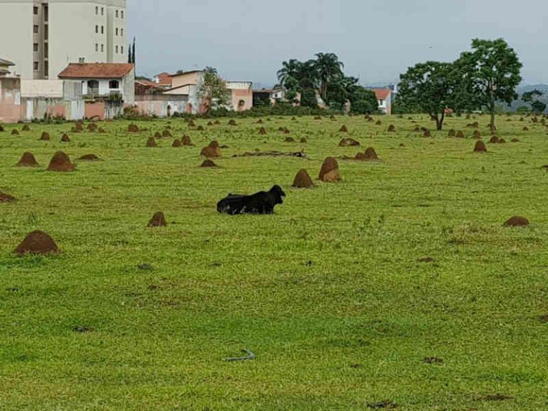Vaca debilitada em terreno preocupa moradores em São José dos Campos, SP
