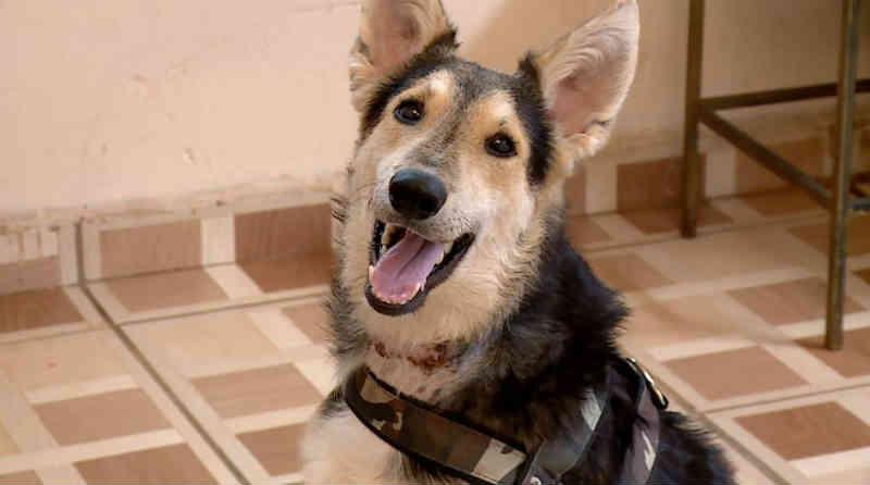 Após cirurgia, cão que teve a garganta cortada por antigo tutor ganha novo lar em Serrana, SP