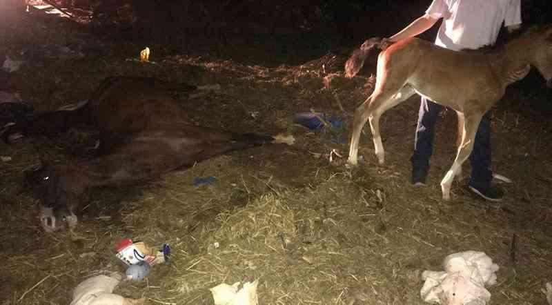 Animais foram encontrados cercados por lixo, apesar do esforço dos veterinários a égua não resistiu e morreu