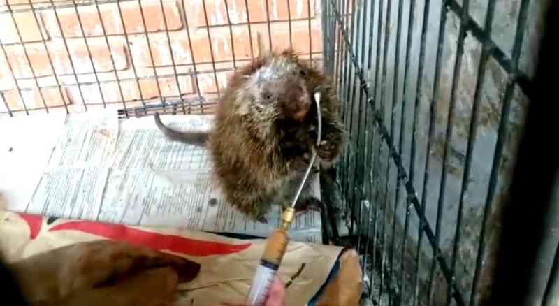 Três dias após primeria cirurgia, ouriço começou a aceitar alimentação líquido — Foto: Zoo de Bauru/Divulgação