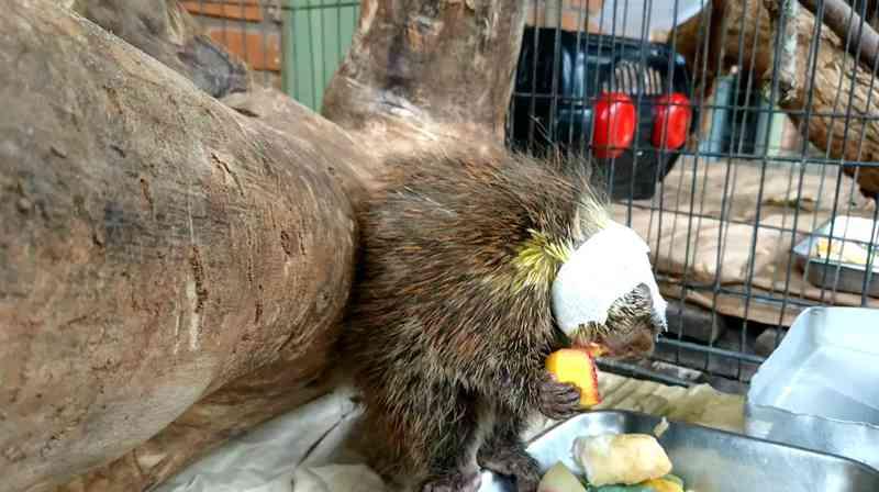 Ouriço caixeiro segue com bandagens para proteger a cirurgia na cabeça e come um pedaço de manga: hábitos alimentares estão sendo retomados — Foto: Sérgio Pais/G1