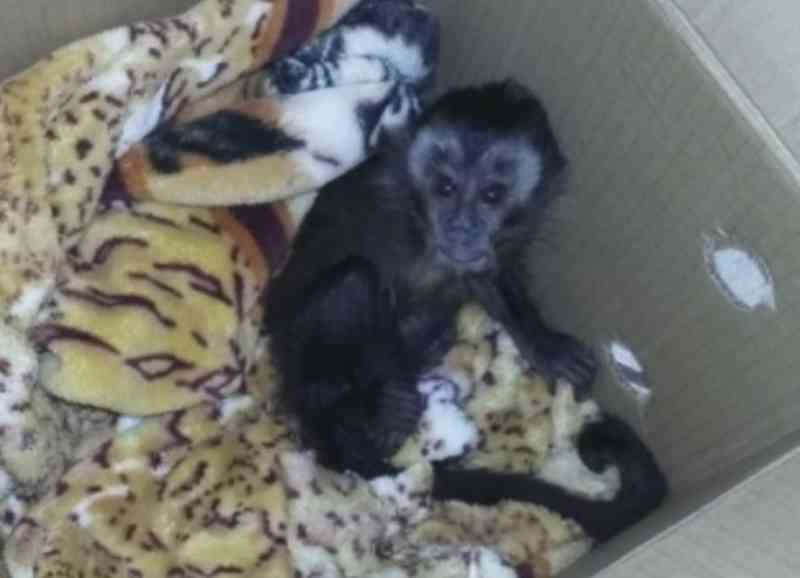 Macaco foi encontrado dentro de carro com a mulher — Foto: Reprodução/TV TEM