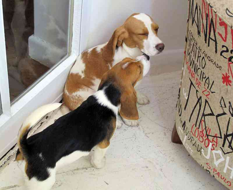 Beagles levados por ativista de laboratório em São Roque — Foto: Gabriela Gasparin/G1/Arquivo