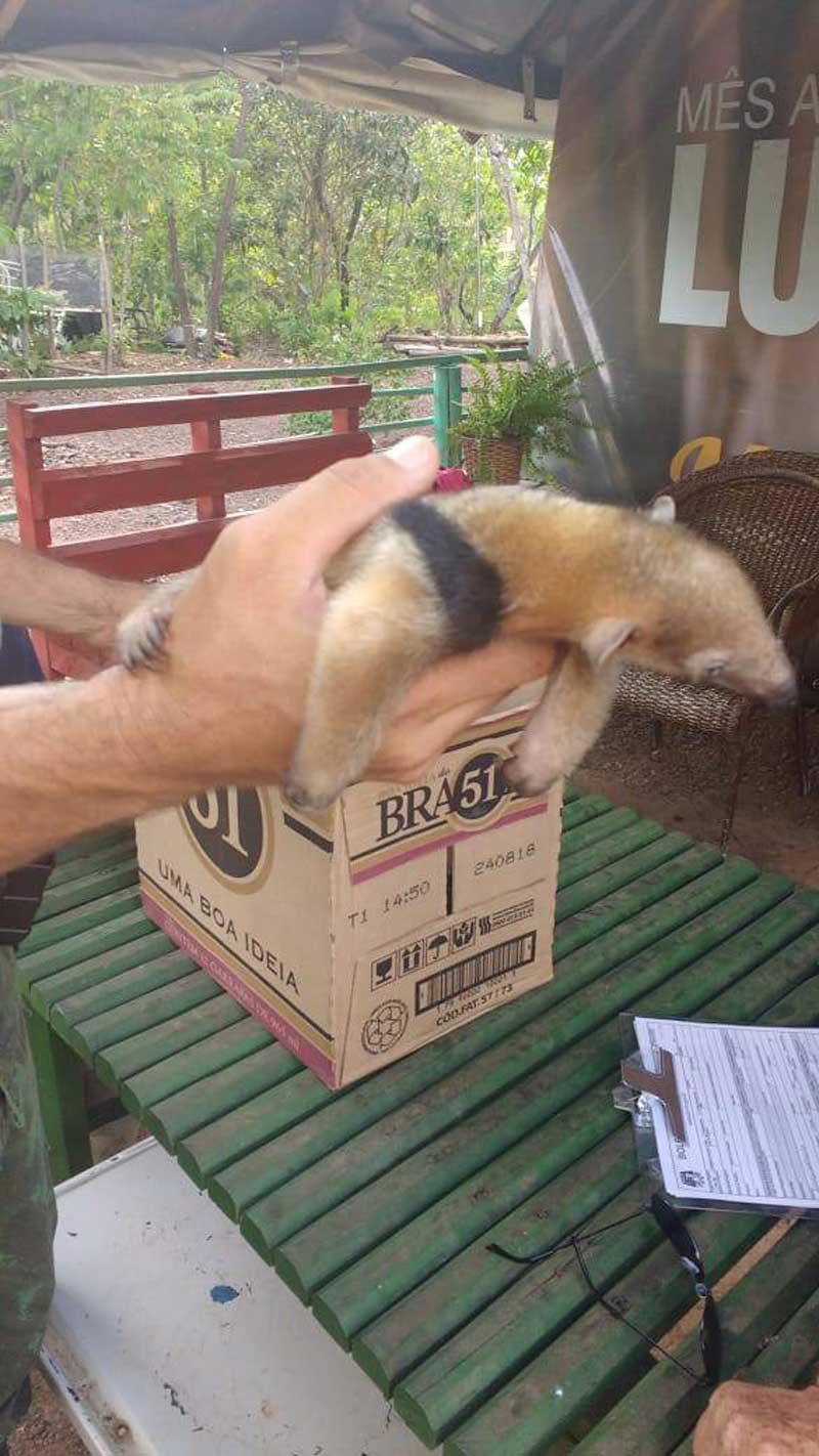 Policia Ambiental apreende animais silvestres em 3 cidades de Tocantins