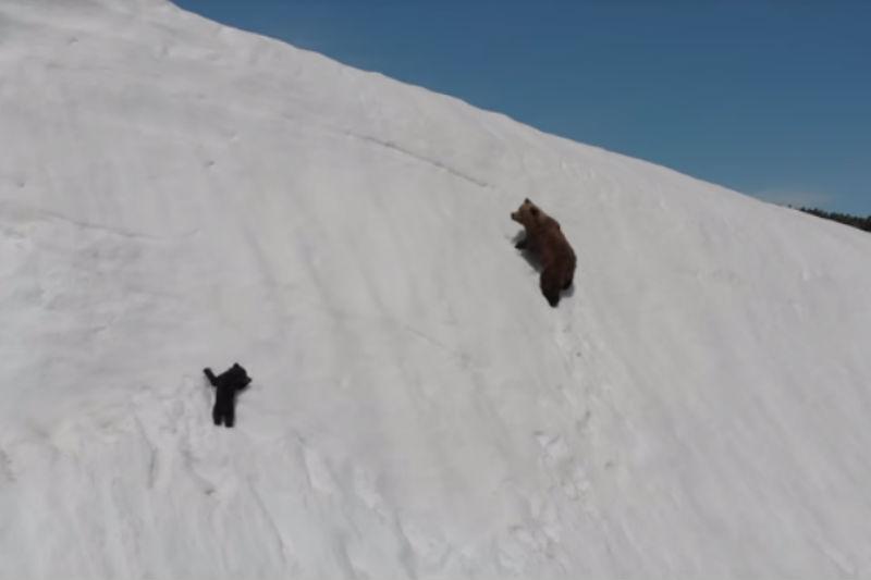 Vídeo de ursos em penhasco gera debate sobre uso de drones na natureza