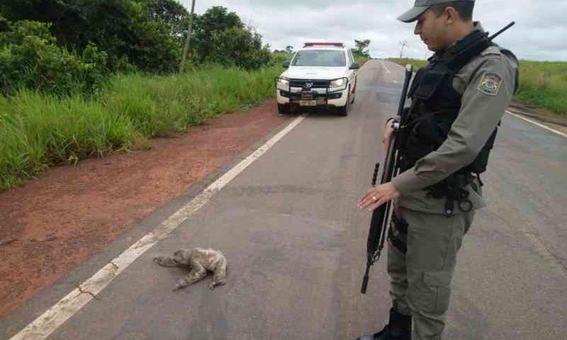 Animal estava atravessando a rodovia BR-317 e policiais decidiram ajudar para que ele não fosse atropelado — Foto: Divulgação/9º BPM-AC